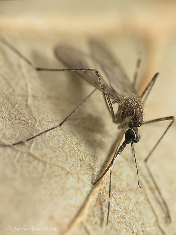 Culex pipiens (Mosquito común)