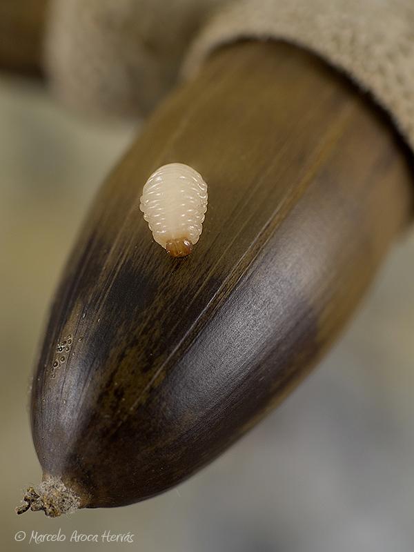 Curculio glandium larva (Gorgojo de las bellotas)