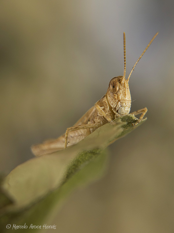 Dociostaurus sp.