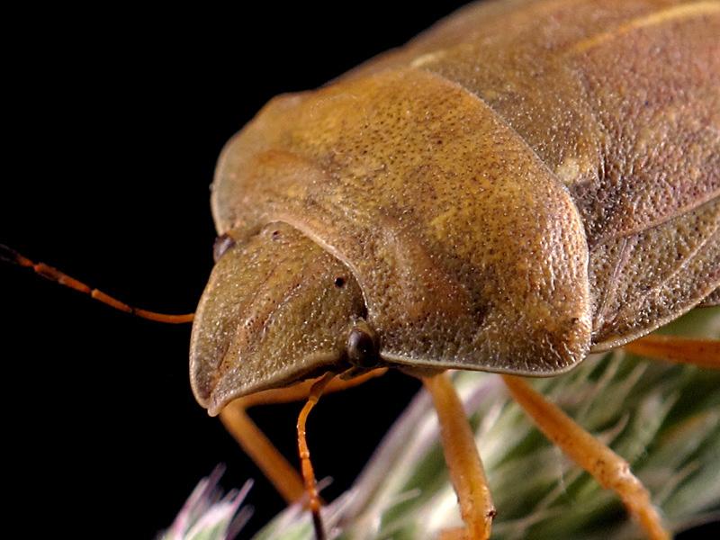 Eurygaster austriaca