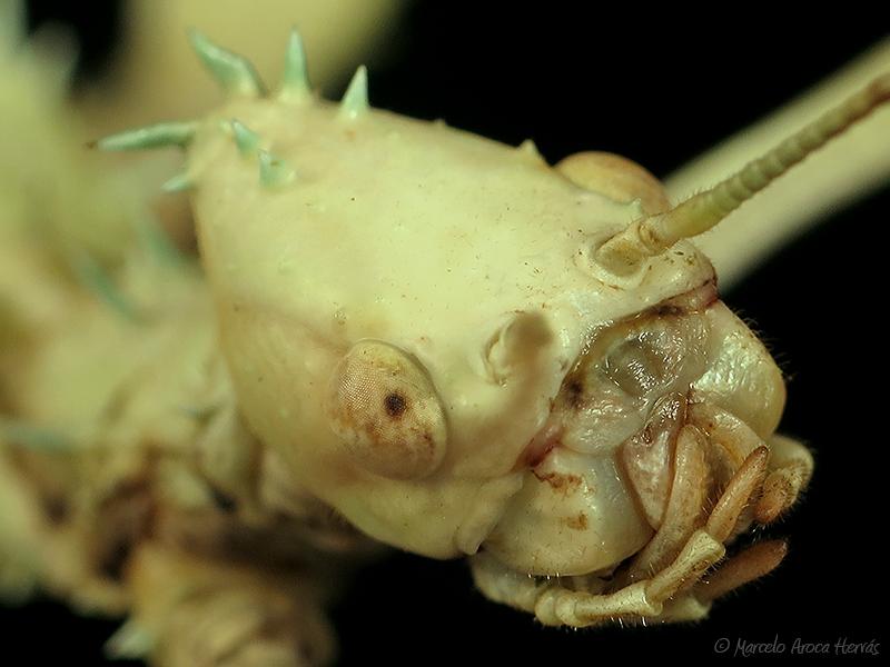 Extatosoma tiaratum ninfa hembra