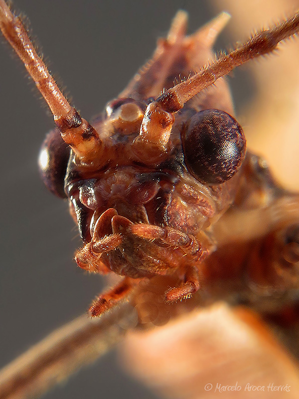 Extatosoma tiaratum ninfa macho LX1 8055_0 mn