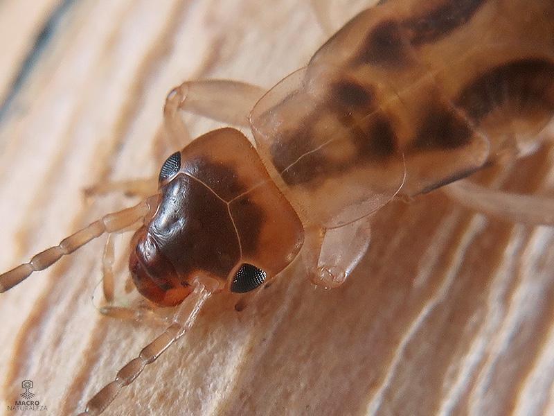 Forficula auricularia (Tijereta común)