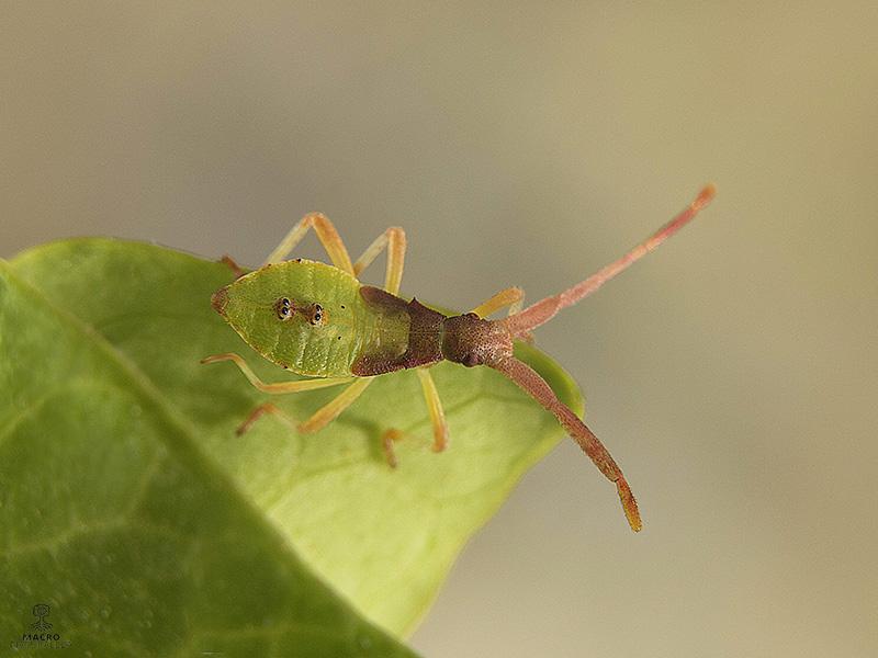 Gonocerus acuteangulatus ninfa