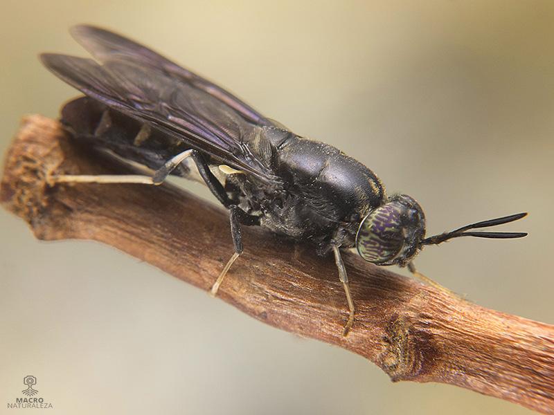 Hermetia illucens (Mosca soldado negra)