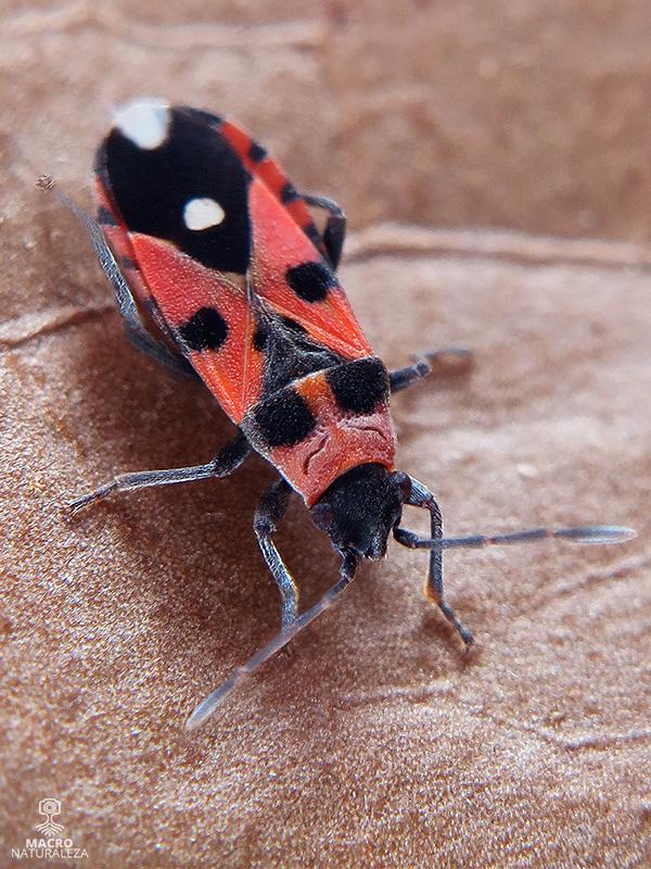 Horvathiolus sp.