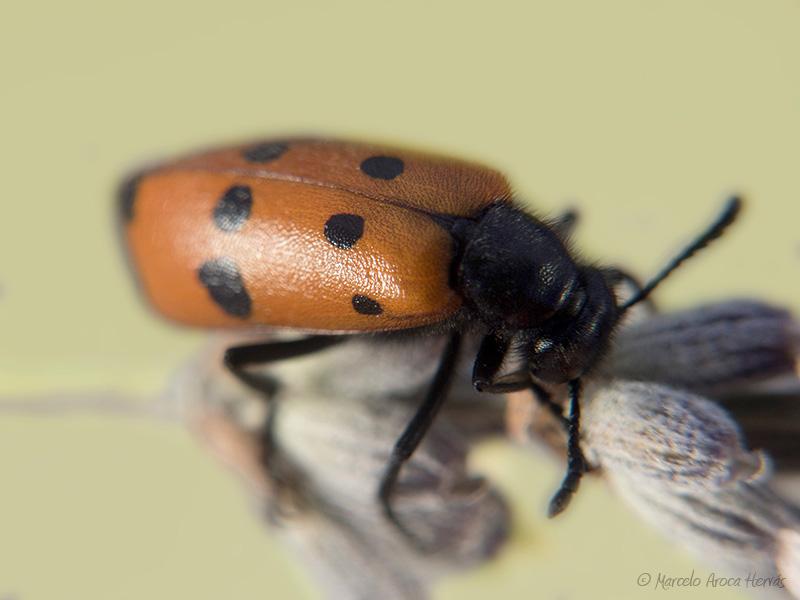 Mylabris quadripunctata