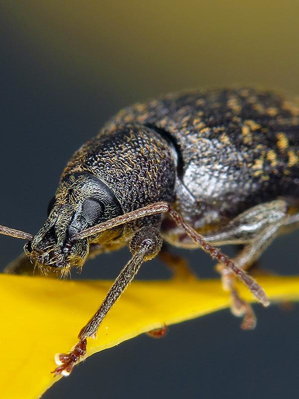 Otiorhynchus sp.