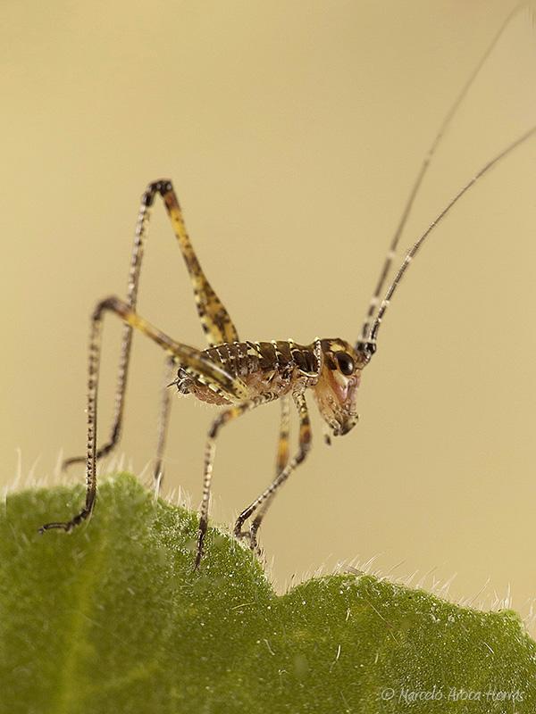 Phaneroptera sp. juvenil