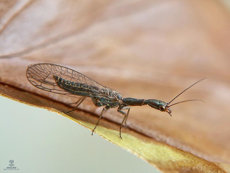 Raphidiidae