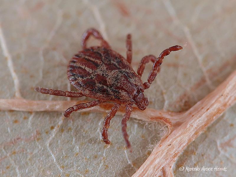 Rhipicephalus sanguineus (Garrapata)
