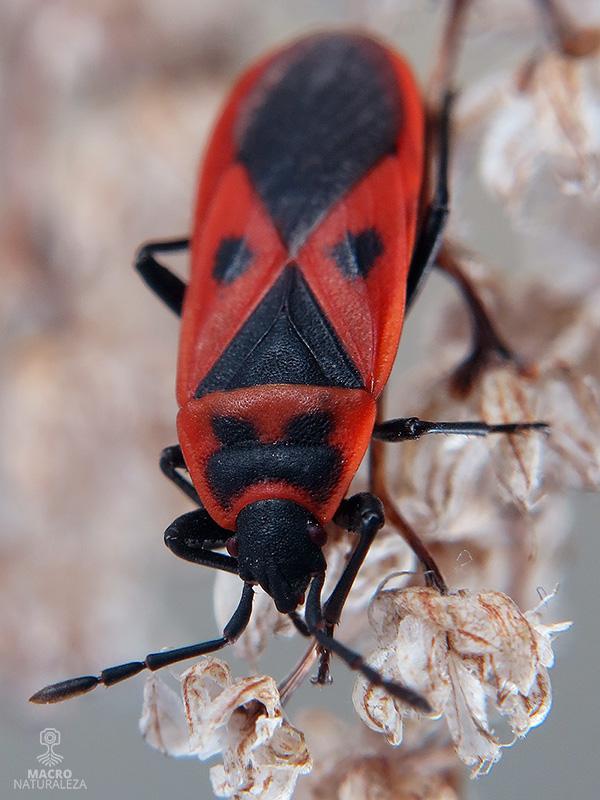 Scantius aegyptius