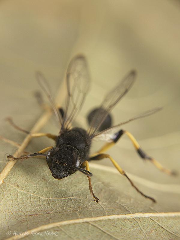 Sceliphron spirifex (Avispa alfarera)