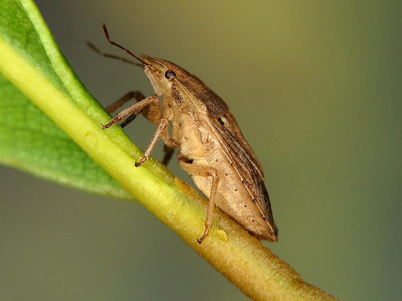 Sciocoris sp.