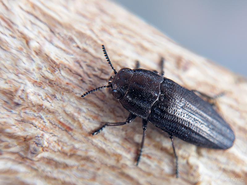 Sphenoptera sp.