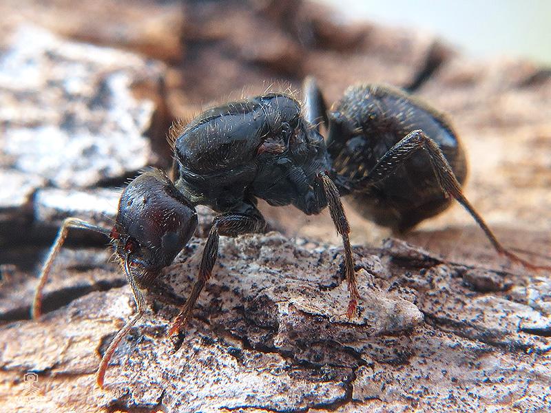 Tetramorium caespitum (hormiga del pavimento)