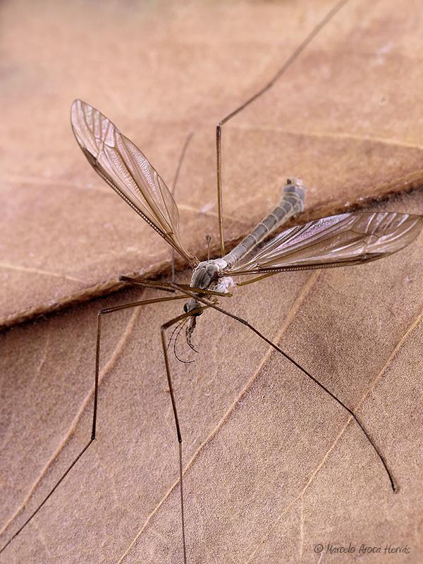 Tipula maxima