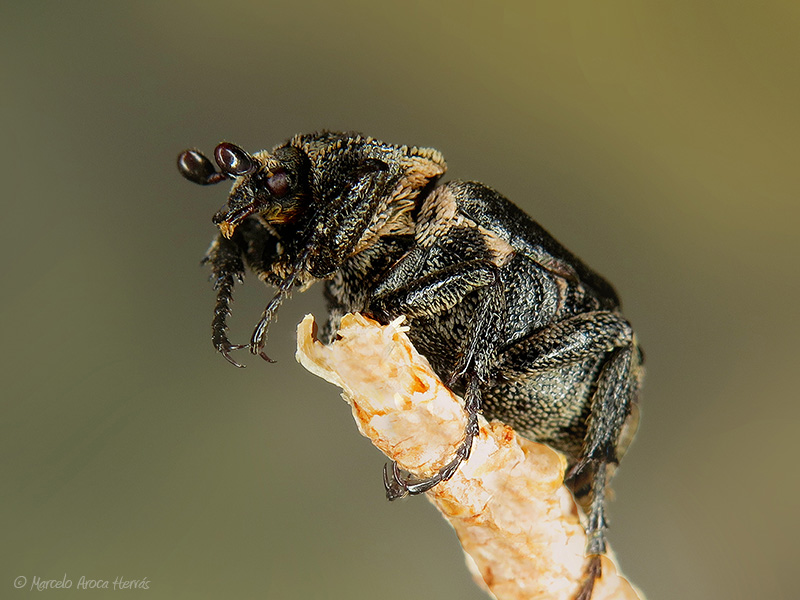 Valgus hemipterus macho