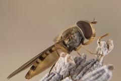 Episyrphus balteatus hembra