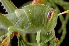 Anacridium aegyptium ninfa