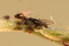 Aphis sp.