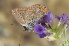 Aricia sp. (Lycaenidae)