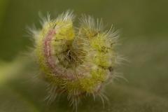 Cacyreus marshalli (larva mariposa del geranio)
