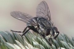 Calliphora sp.
