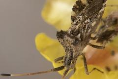 Centrocoris variegatus