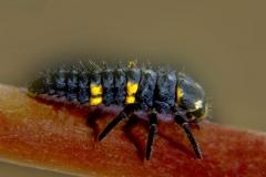 Coccinella sp. larva