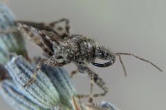Coranus griseus