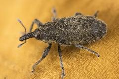 Curculionidae (Gorgojo)