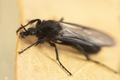 Dilophus febrilis hembra