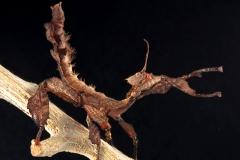 Extatosoma tiaratum ninfa hembra LX2