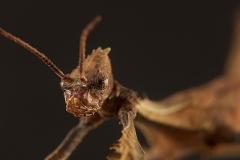 Extatosoma tiaratum ninfa macho LX
