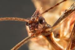 Extatosoma tiaratum ninfa macho LX1 8057_0 mn