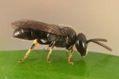 Hylaeus punctatus