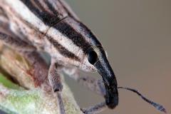 Lixus anguinus