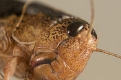 Locusta migratoria ninfa