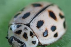 Oenopia conglobata
