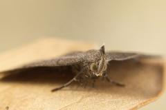 Pechipogo plumigeralis hembra