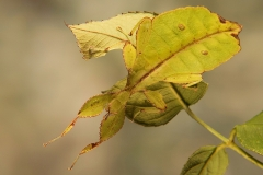 Phyllium philippinicum hembra subadulta