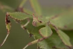 Phyllium philippinicum ninfa LX1