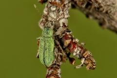 Phyllobius sp.