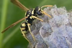 Polistes gallicus hembra