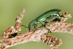 Psilothrix viridicaeruleus