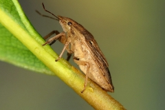 Sciocoris sp.