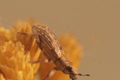 Sitona hispidulus