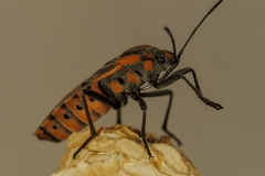 Spilostethus pandurus
