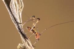Stilpnochlora couloniana ninfa